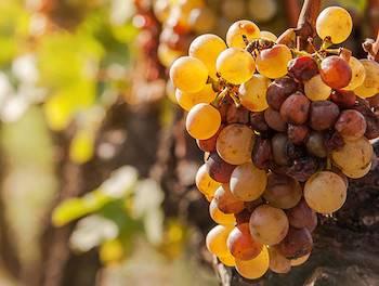 Természetes édes bor szőlő aszúsodott, desszertbor
